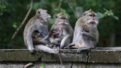 Video 1920x1080  Monkey family at sacred monkey forest. Ubud, Bali, Indonesia Stock Footage