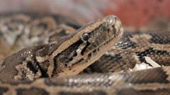 Snake Python Head Stock Footage