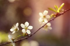 White cherry flowers blossom in sunset Stock Photos