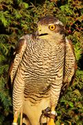 Goshawk(Accipiter gentilis) Stock Photos