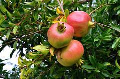 Pomegranate aromatic fruit in garden - Croatia Stock Photos