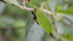 Ant and ants on green leaf macro video Stock Footage