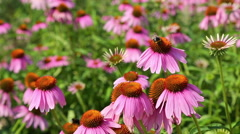 Bees collect nectar from the flowers of Echinacea purpurea Stock Footage