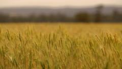 Farming Wheat fields blowing in the wind ready for harvesting Stock Footage