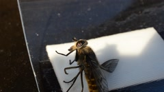 Horse-fly,gad fly,clegg, caught on fly paper under invasion in summer macro Stock Footage
