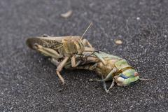 Cannibalism of locusts. One locust eats another dead colleague. Stock Photos