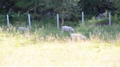 Beautiful white sheeps grassing in summer field Stock Footage