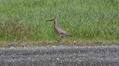 Eurasian curlew bird in summer by grassy pasture Stock Footage