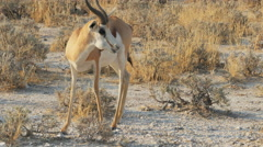 Impala eating and looking at the camera 4k Stock Footage