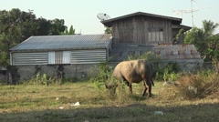 Water buffalo in Thailand Stock Footage