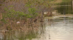 Limpkin in the Florida Everglades Stock Footage