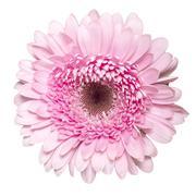 Pink gerbera. Deep focus Stock Photos