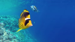 Raccoon butterflyfish closeup in Red sea, Egypt Stock Footage