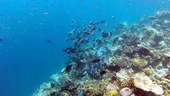 A lot of surgeon fishes above beautiful coral reef Stock Footage