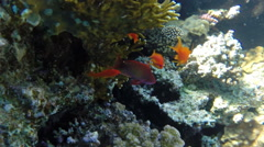 Jewel Fairy Basslets (Pseudanthias Squamipinnis) at coral in Red Sea Stock Footage