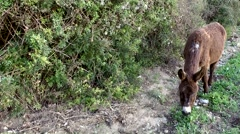 Spain Mallorca Island small town Sa Coma 009 donkey is grazing at roadside Stock Footage