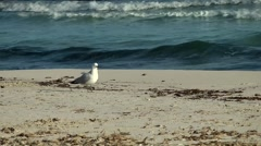 Spain Mallorca Island small town Sa Coma 003 seagull on sand and blue sea surf Stock Footage