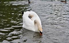 White swan on a pond Stock Photos