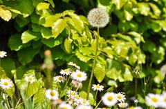 Dandelions and daisies on a background of green shrubs Stock Photos
