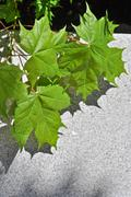 Green maple leaves on a concrete slab Stock Photos