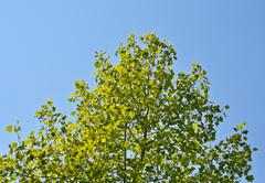Stock Photo of crown young spring tree against the blue sky