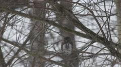 Pygmy owl Glaucidium passerinum sitting on a bare tree Stock Footage