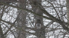 Pygmy owl stretching its neck Stock Footage