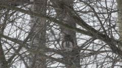 Pygmy owl looking down focused Stock Footage