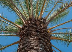 Stock Photo of The trunk of palm trees, view from below
