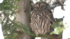 Ural owl - Strix uralensis Stock Footage