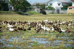 Duck Chase Field Mob in Nonthaburi, Thailand Stock Photos