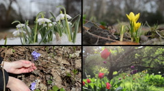 Snowdrop saffron violet and tulip flowers. Video clips collage Stock Footage