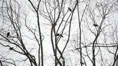 Raven on trees Stock Footage