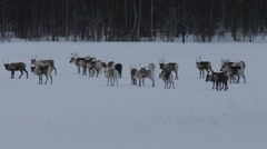 Group of reindeer gathered on a frozen lake at dusk Stock Footage