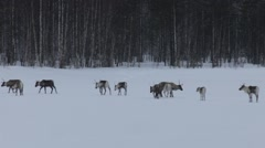 Group of reindeer crossing a frozen lake at dusk and dissapearing between trees Stock Footage