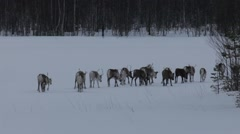 Group of reindeer trotting over a frozen lake Stock Footage