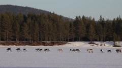 Group of reindeer crossing a frozen lake together Stock Footage