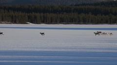 Reindeer herd running over frozen lake on sunny winter day Stock Footage