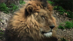 Slow motion with a lion on a tree trunk resting Stock Footage