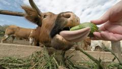 Funny cow eats in slow motion Stock Footage