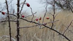 Rosehips ripened in the field Stock Footage