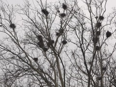 Crows in nests on tree video, 640x480 Stock Footage
