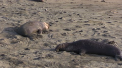 Elephant Seals on the Beach Stock Footage