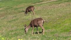 Blacktail Deer Grazing Stock Footage