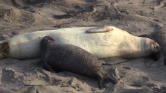 Elephant Seal Baby Nursing on the Beach Stock Footage