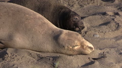 Elephant Seal Mother and Young on the Beach Stock Footage