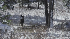 Deer fawn stands in the snow Stock Footage