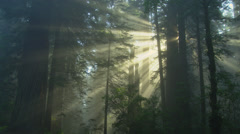 Rays of light in redwood forest Stock Footage