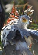 A secretary bird portrait with beatiful plumage - stock photo