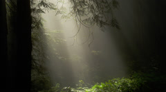 Rays of light in redwood forest Arkistovideo